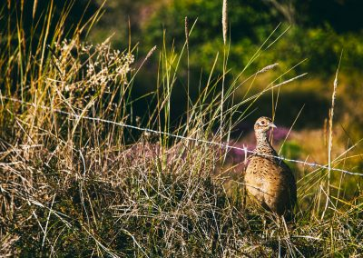 Nature and Landscape, a pheasant hen guarding her chicks who are grazing behind her.